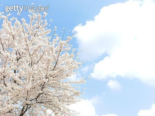 벚꽃을 추천해 봄