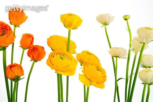 라넌큘러스[Ranunculus]