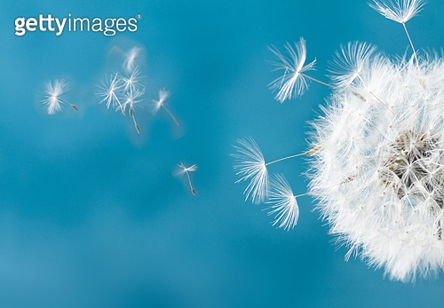 White dandelion head with flying seeds on blue background. White dandelion on blue