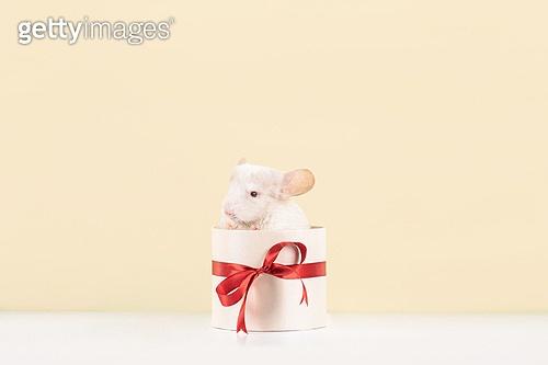 경자년, 흰 쥐