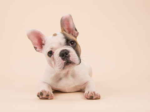 White and brown French bulldog puppy lying down facing the camera on a creme background