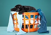 Puppy lying in laundry basket