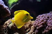 Aquarium Fish, tropical  (Zebrasoma flavescens)
