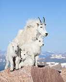 Mountain goat family on rock