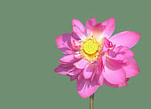 Blooming Lotus flower head Isolated