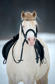 White horse with saddle and bridle in winter.