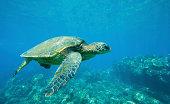Hawaiian Green Sea Turtle Under Water