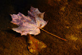 Autumnal Maple leaf floating on water