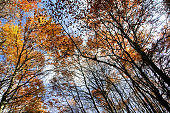 Looking up at Tall Oak Trees in Autumn