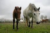 Camargue white horse