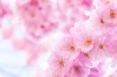 Soft focus Cherry blossoms