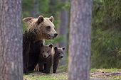 Brown bear family
