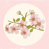 Illustration cherry blossoms