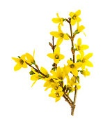 forsythia blossoming isolated on white