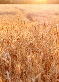 Golden sunset over wheat field. Outdoors