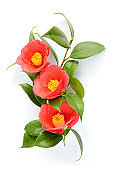 Red camellia blossom isolated