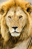 Full Face View of Male Lion