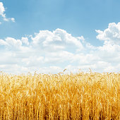 golden wheat and blue sky with clouds