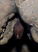 Greater Horseshoe Bat ( Rhinolophus ferrumequinum)