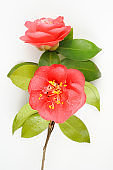 Red camellia twig isolated