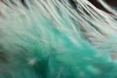 Macro of Fluffy turquoise feather details