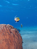 Bannerfish and coral