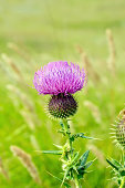 Thistle on meadow