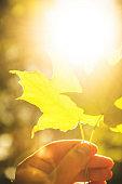 summer maple leaf