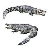 Crocodiles isolated