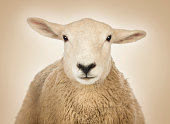 Close-up of a Sheep's head, cream background