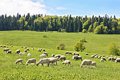 Flock of sheep in Poland