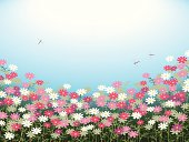 Colorful cosmos flower meadow