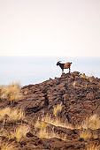 Billy goat standing on hilltop in Hawaiian field overlooking ocean
