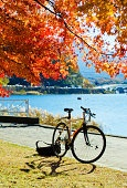 Bicycle under Maple Tree
