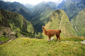 Lama in Macchu Picchu, Peru, South America