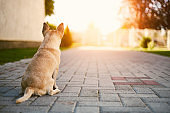 Chihuahua guard the house