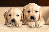 Two Goleden Retriever Puppies