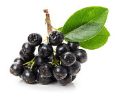 Branch of black chokeberry (Aronia melanocarpa) isolated on the