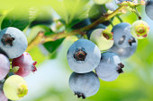 blueberry in the summer