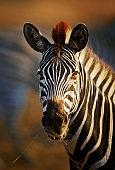 Zebra portrait close-up