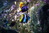 Schooling bannerfish - Tropical fish