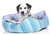 Young dalmatian puppy lying in a soft bed