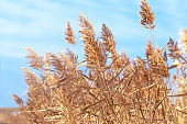 Beautiful dry reed (cane) and blue sky