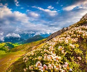 Blooming white rhododendron flowers in Caucasus mountains