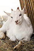 White baby goat beside manger on traditional farm