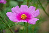 pink cosmos flower in the garden