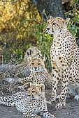 Cheetah family, mother and three cubs
