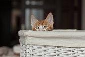 little readhead kitten playing