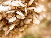 Dried fragile hydrangea hortensia flower