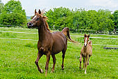 proud arabian mare and foal galloping on pasture - purebred